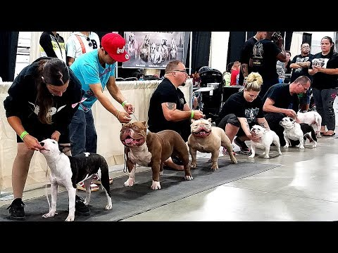 KILLINOIS KENNELS SHOW VLOG#4 BRC GLOBAL SOUTH BEND,IN AMERICAN BULLY DOG SHOWS