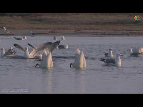 Лебеди в белые ночи, город Анадырь. Чукотка. Арктика. 20:29, 25.05.2018.
