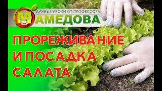 Листовые салаты в Подмосковье.