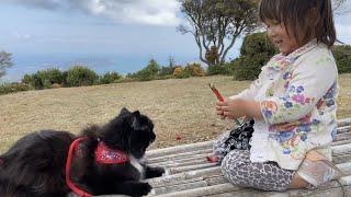 絶景に尻尾を立てて歩く猫 ラガマフィン 旅猫リポート③梅と伊勢編 A cat walking in a good mood with a superb view. Ragamuffin.