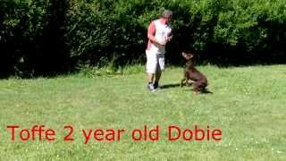 Toffe 2 Year Old Doberman Trained In Basic And Advanced Obedience