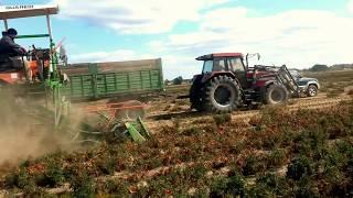 Guaresi. Zbiór pomidora gruntowego kombajnem. Agromar usługi rolnicze