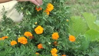Harvesting Marigold Seeds : Marigold Gardening