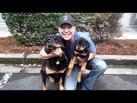 Baby Rottweiler Puppy! Meets BIG Brutus Maximus Rottweiler!