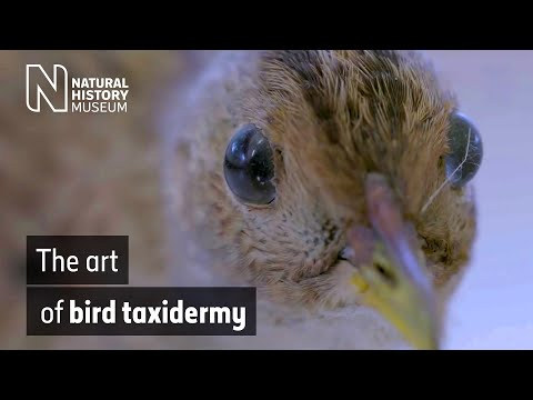 The art of bird taxidermy | Natural History Museum