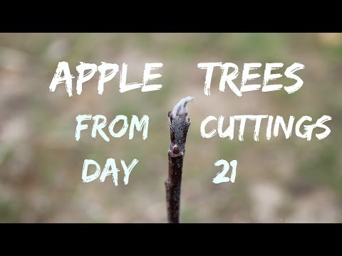 #212 – 200 Apple Tree UPDATE!!! 21 Days Later… (Starting Trees From Cuttings)