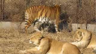 China. Harbin. Siberian Tiger Park