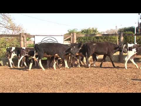 LOTE 54   MEGALOTE BEZERRAS   2º LEILÃO VIRTUAL DA FAZENDA SANTO AMARO   DIA 28 DE AGOSTO   14HS REM