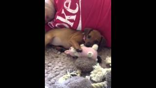 Miniature Pinscher Puppy Playing With Toys