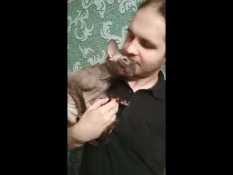 Touch your cat! Cornish rex loves hugging.