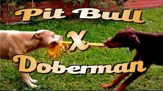 Pit bull Vs. Doberman