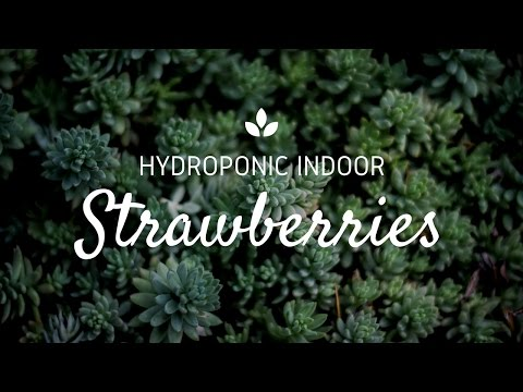 Visiting a Hydroponic Indoor Strawberry Production in a Clean Room