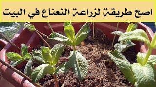 طريقة زراعة النعناع فى المنزل/ الأسهل و الأصح