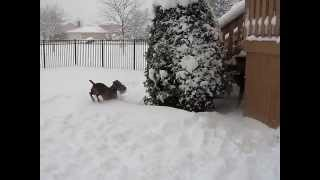 Snow Dogs Great Dane And Weimaraner