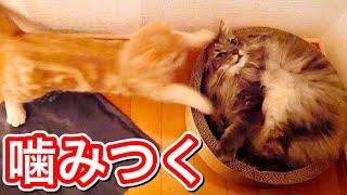 先輩猫にケンカを売りまくる短足マンチカンの子猫。