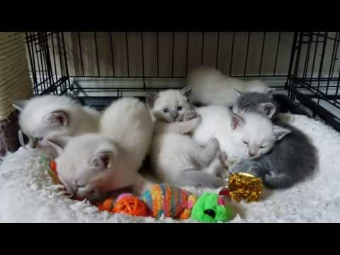Siamese rescue babies... plus one blue!