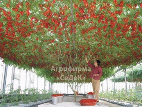 Как выращивать помидоры в теплице, секреты садоводов 81