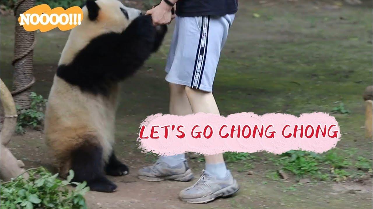 Chubby panda doesn't want to get up (CHONG CHONG)