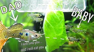 Guppies Eat their Babies   How to Reduce Cannibalism
