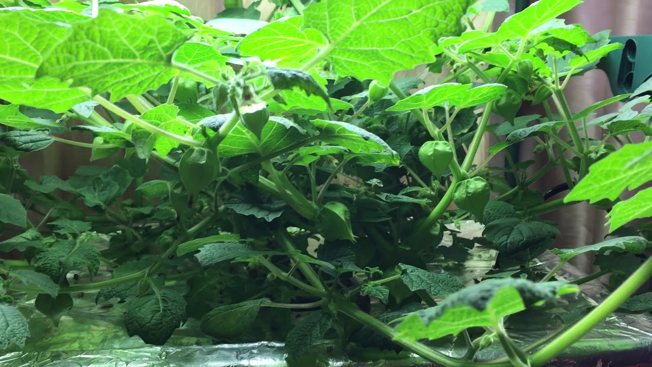7 Reasons Why You Should Grow Ground Cherry Plant Youtube
