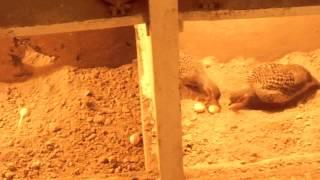 Gora Teetar (Grey Francolin)