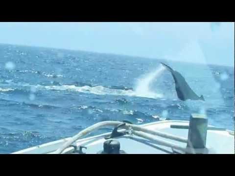 Mistie C Fishing Charters - Newburyport, MA - Humpback Whale and Calf