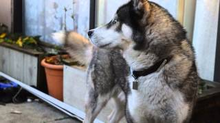 Winter With Rocky The Siberian Husky