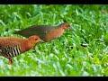 Suara Burung Tikusan Merah Ngriwik(.mp3 .mp4) Mp3 - Mp4 Download