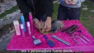 Caini - Cosmetica Canina - Cosmetizarea Unui Yorkshire Terrier