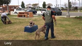 Pit Bull Training Los Angeles Orange Couty San Diego | Sandlot K9 Services