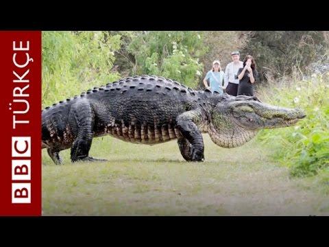 Florida'da görüntülere takılan dev timsah - BBC TÜRKÇE