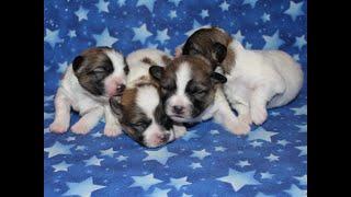 Coton Puppies For Sale - Eliza 4/14/20