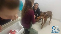 Overcoming Fear of Vet Visits and Examination/Handling (Dog Charming)