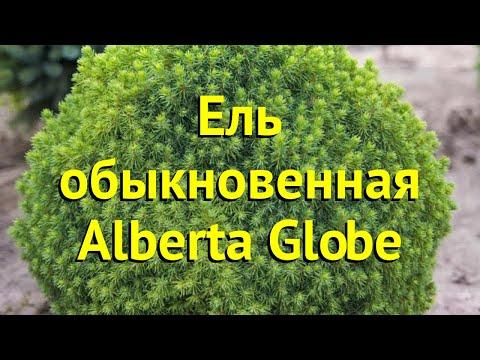 Ель обыкновенная Альберта глоб. Краткий обзор, описание характеристик picea abies Alberta Globe