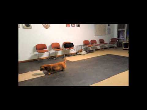 Dachshund Champion Trick Dog Title