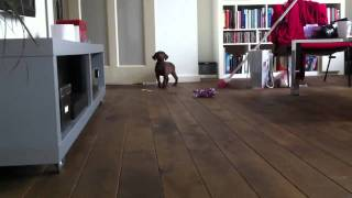 Puppie Weimaraner X Labrador 2