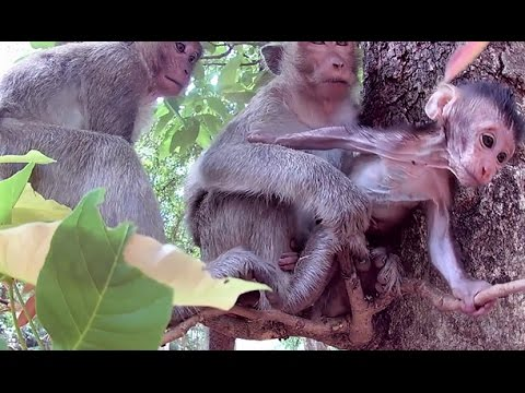Thumbnail: Monkey steals baby from monkey mother