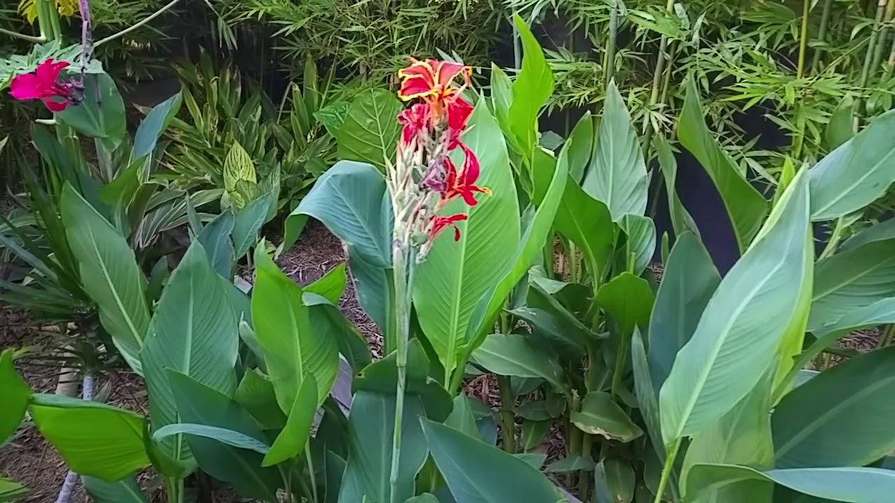 Our Tropical Garden In South Australia Walk Through Update Youtube