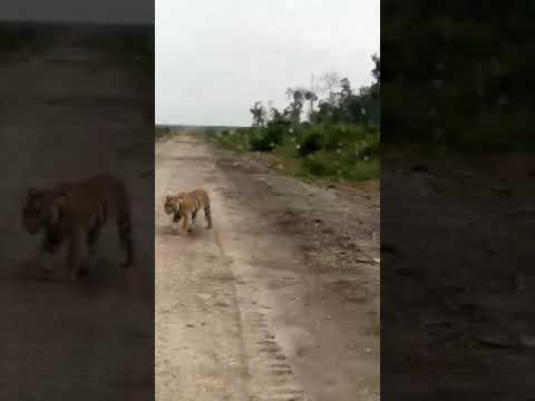Harimau Jadi Jadian Di Padang 12 Ketapang Kal-bar