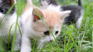 На прогулке(Друзья,срочно нужна передержка,а лучше ручки для кошки в Люберцах ! Раньше кошка жила ,горя не знала в подъез..., 2013-08-28T16:59:41.000Z)