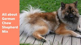 The German Chow Shepherd Mix: everything you need to know