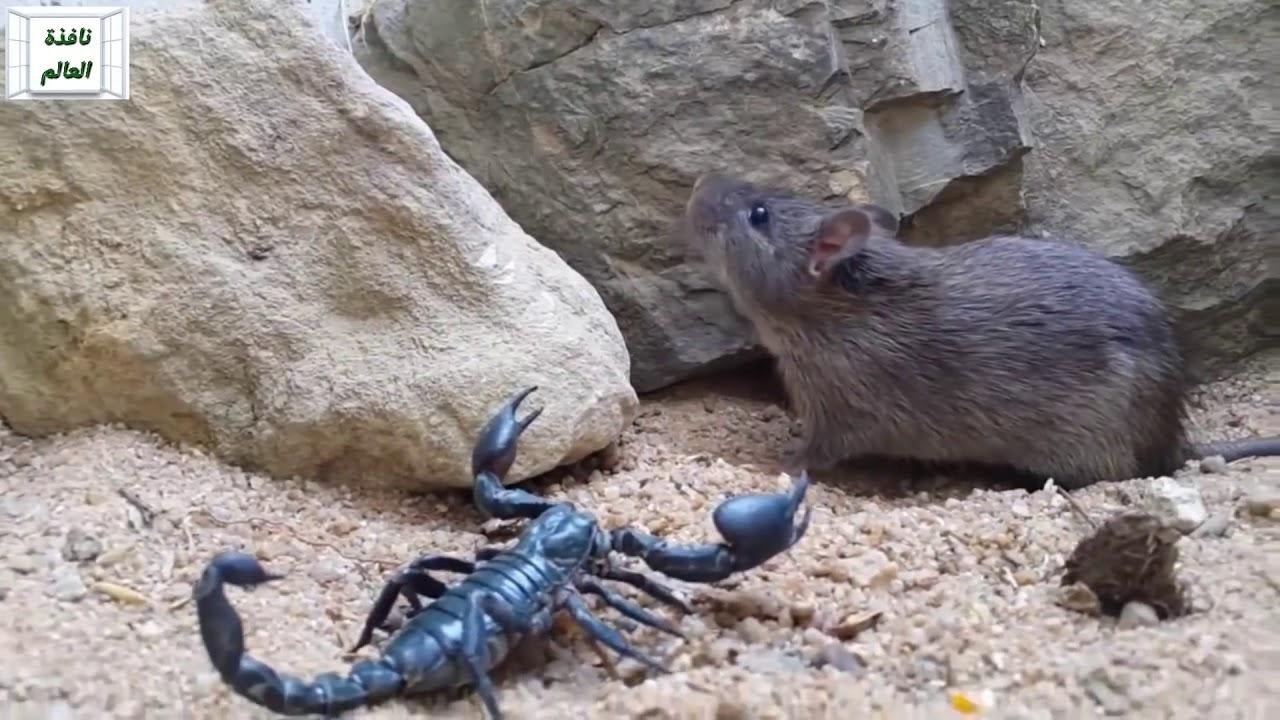 مواجهة بين العقرب و الفأر - YouTube