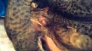 Взрослые кошки сосут грудь