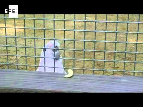 Figaro, la cacatúa que fabrica sus propios utensilios
