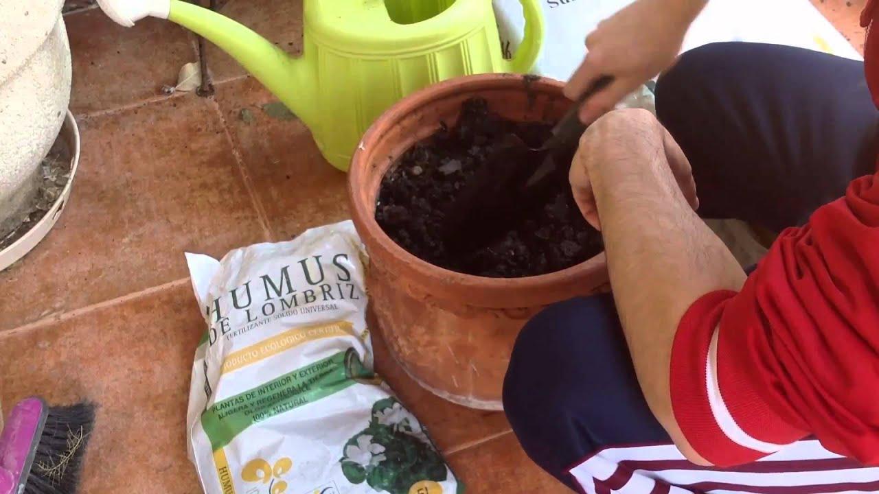 Poda y saneamiento de una hortensia doovi - Hortensias cuidados poda ...