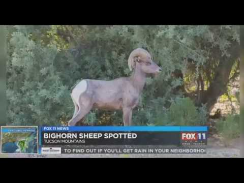 Woman records rare sighting of bighorn sheep in Tucson Mountains