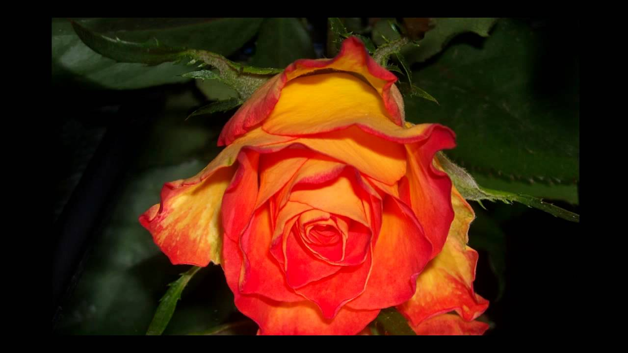 Rote Rosen Ungerade Anzahl