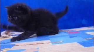 Сколько стоит кот экзот черный
