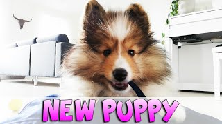 First month with our sheltie puppy | Vilma The Sheltie