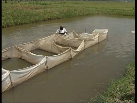 Tilapia Aquaculture In Burundi (in French)